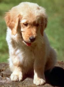 parvo in puppies