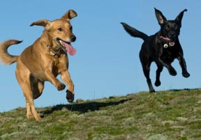 symptoms of giardia in dogs