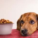 A daschund looks up from his bowl of kibble in hope of real food