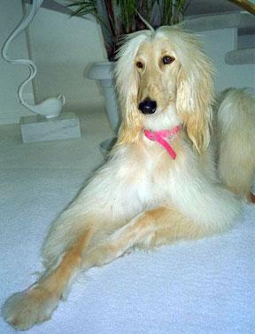 Stunning-Afgan hound