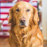 Dog Skin Allergies Distressing Link to Kibble