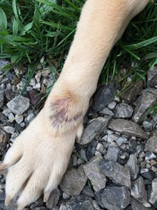 Dogs leg with hot spot