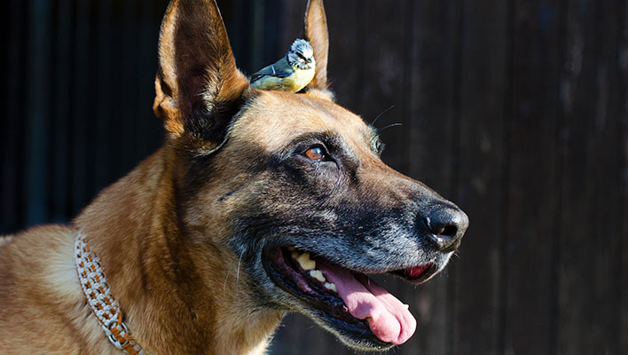 German Shepherd Dog with a Blue Tit standing on head between the dogs ears