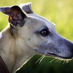 Boost Diabetic Dog Health With Powerful Immunity Enhancer