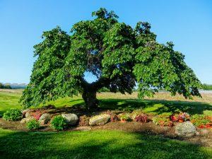 Camperdowm elm tree
