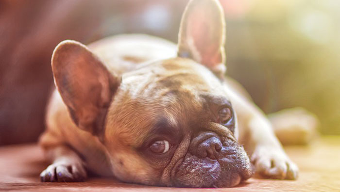 French bull dog lying on floor