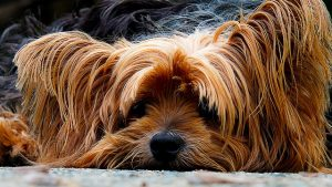 Yorkshire terrier lying down with head on floor